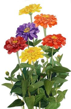 An original watercolor painting of red, orange, yellow and purple zinnias, growing in my garden. It measures 15 x 22 and is shipped unmatted and unframed. The painting with its brilliant color will enhance any rooms decor. Acrylic Flowers, Watercolor Flowers, Watercolor Paintings, Watercolor Pictures, Colorful Paintings, Botanical Flowers, Botanical Prints, Arte Floral, Flower Art