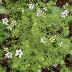 Also called Black Cumin, Black Seed, and Fennel Flower, this hardy annual has been grown for centuries for the aromatic seed, which has many culinary and medicinal uses.  Nutmeg Plant bears feathery, finely cut leaves and delicate white to pale blue flowers.  Approximately 70-90 Nutmeg Plant seeds per packet. Herb Seeds, Garden Seeds, Planting Seeds, Alpine Strawberries, Nigella Sativa, Herb Pots, Black Seed, Farm Gardens, Blue Flowers