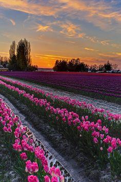Skagit Tulips Golden Sunset Layers by Mike Reid Beautiful Sunset, Beautiful World, Beautiful Places, Landscape Photography, Nature Photography, Amazing Nature, Pretty Pictures, Beautiful Landscapes, Aesthetic Wallpapers