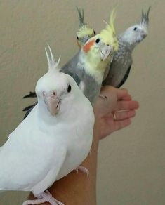 Funny Birds, Cute Birds, Pretty Birds, Beautiful Birds, Animals Beautiful, Cute Animal Photos, Animal Pictures, Cockatiel Care, Bird Breeds