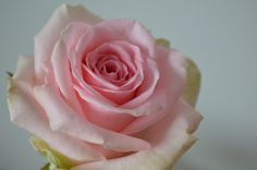Sweet dolomiti van Marjoland Pink Roses, Flowers, Plants, I Love, Pictures, Plant, Royal Icing Flowers, Flower, Florals