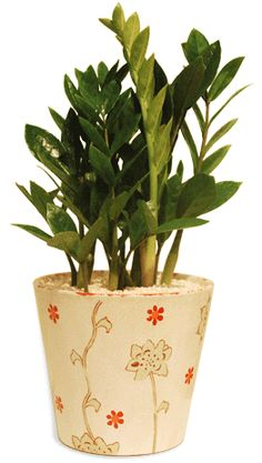 ZZ Plant (Zamioculcas Zamifolia) - low maintenance indoor plant.