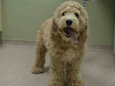 Manhattan Center   HUNTER - A1022945  *** EXPERIENCED HOME ***  NEUTERED MALE, WHITE, POODLE MIN / LABRADOR RETR, 3 yrs STRAY - ONHOLDHERE, HOLD FOR ID Reason OWNER SICK  Intake condition UNSPECIFIE Intake Date 12/12/2014, From NY 10029, DueOut Date 12/19/2014,   Medical Behavior Evaluation GREEN  Medical Summary Scanned negative QARH Mild dental tartar Allows handling Neutered Activyl applied for fleas prevention Nosf  Weight 30.2  For more information on adopting from the NYC AC&C, or to…