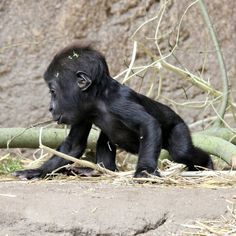 Just woke up. Zoo Animals, Cute Baby Animals, Animals And Pets, Funny Animals, Baby Animals Pictures, Cute Animal Pictures, Wild Animal Park, Baby Gorillas, Cute Monkey