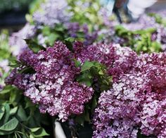 lilacs love the smell :)