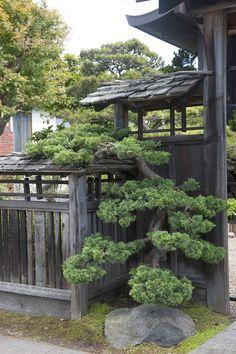 Japanese pruning, gate tree #japansesegarden