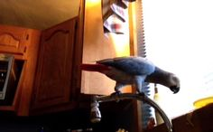 This African Grey Parrot can speak 20 languages, sing and dance. Plus, she's really beautiful. And in this video, she gets yogurt on her beak.    Eleven minutes in, she also gets really into potatoes.