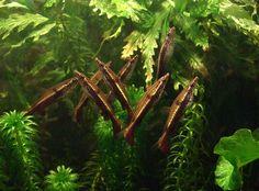 Nannostomus eques (swims obliquely) Home Aquarium, Tropical Aquarium, Tropical Fish, Aquarium Fish, Biotope Aquarium, Aquatic Ecosystem, Planted Aquarium, Underwater World, Freshwater Fish