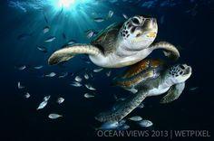**Eight Prize**: Francis Perez. *Green sea turtles*.