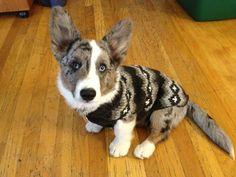 Dapper dog. A Cardigan wearing a sweater.