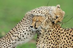 Cheetah cub and patient mum, Masai Mara, Kenya by David Lloyd Wildlife Photography