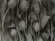 John Blakemore, Tulipa 3, 1994, James Hyman Gallery