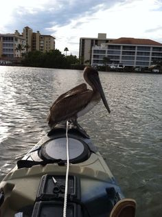 The only Cuda a Pelican could like...