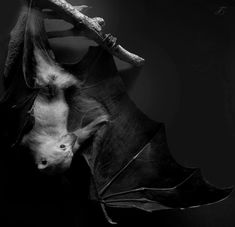 Der Fledermaus that's German for bat Dracula, Cute Bat, Creatures Of The Night, Sea Creatures, Fauna, Illustrations, Beautiful Creatures, Animal Kingdom, Mammals