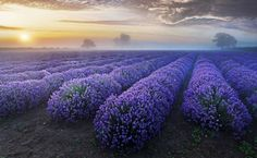 Lavender Dawn - Bild & Foto von Sandra on the Rocks aus South East ...