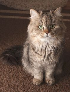I don't usually care for persians but look at this teddy bear kitty!  Available For Adoption | Purebred Cat Rescue