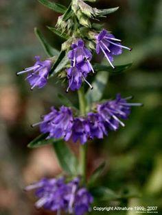 Hyssop Herb, (Hyssopus officinalis)