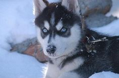 Blue-Eyed Siberian Husky Puppy.  Counts Cove's Kobe of Elizalde Siberian Husky Pup.  Counts Cove Kennels.