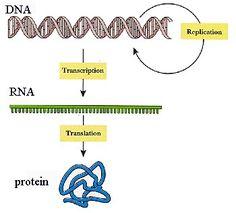 DNA -transcription-> RNA -translation-> Proteins