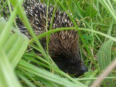 Just peeking - Hedgehog