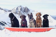 Jackson Hole Mountain Resort's avalanche dogs!