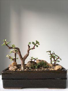 Plantas Bonsai, Bonsai Trees, Growing Tree, Trays, Jade, Succulents, African, Hairstyle, Gardening