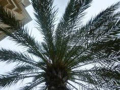 Palm tree looking up from below