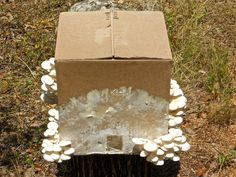 Elm oyster mushrooms growing out of a cardboard box. Pretty cool no?