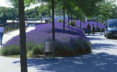 furrows of lavender