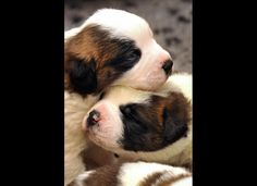Two-week-old Saint Bernard puppies play at the Barry Foundation breeding kennels in Martigny on June 4, 2009. The Saint Bernard dog was once the ubiquitous companion of monks at the monastery tucked 2,500m above sea level, guiding them through the Alps or helping them to rescue stranded or lost travellers in the snowy mountains. However, there are no longer any such dogs living permanently at the monastery these days.
