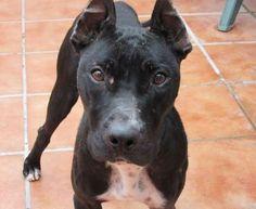 Micaela, #CadeBou #ThaiRidgeback Mix, 2 Jahre, vermutlich als Dummy für Hundekämpfe missbraucht, http://www.tiervermittlung.de/cgi-bin/haustier/details.pl?IDin=299619