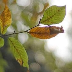 """The Oriental Beech ( Fagus orientalis ) is a large stately tree with smooth pale gray bark and obovate leaves widest near the tips, 6"""" veins, Dark green foilage, golden yellow in the fall. Source of useful timber, native to eastern Europe."""
