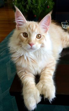 "The Maine Coon cat is among the biggest domestic breeds of cats. Actually, the record for the ""longest cat"" in the 2010 Guinness World Records was achieved by Stewie, with 48.5 in."