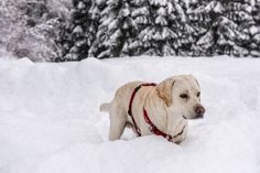 Winter in the forests by ChristianThür Photography on Creative Market White Labrador, Forests, Labrador Retriever, Christian, Winter, Creative, Dogs, Photography, Animals