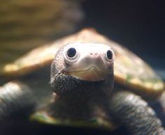It is a scientific fact that diamondback terrapins are the cutest turtles ever http://ift.tt/2n6qJM2