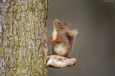 Wiewiórka, Pień, Drzewo