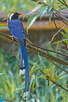 Red-billed Blue Magpie, India