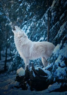 magicalnaturetour:Good Morning Call of an Arctic Wolf by Michael Schönberger / 500px