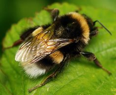 Picture of Buff Tailed Bumble Bee | buff-tailed bumblebee | Nest tunnels of 2 m have been record ...
