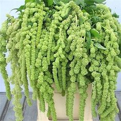 Amaranthus Cycloop is a hanging variety & is ideal for all flower arrangements requiring trailing flowers such as pedestals - it has long, chunky soft green trails. long & wholesaled in 10 stem wraps. Trailing Flowers, Fall Flowers, Green Flowers, Summer Flowers, Cut Flowers, Wedding Flower Arrangements, Wedding Flowers, Wedding Bouquets, Wholesale Flowers Online