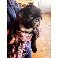 Sad little baby pug