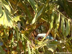 Alimentando o filhote no ninho. Sanhaçu-cinzento (Tangara sayaca) fotografado em São Paulo/SP em Dezembro/13.