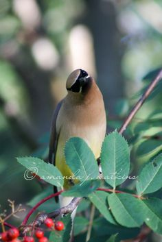 Wild birds. Cedar Waxwings.