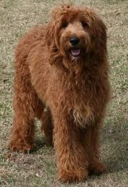 chocolate goldendoodle.