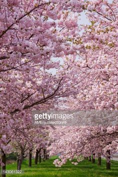 Stock Photo : Cherry blossoms, Nagano Prefecture, Honshu, Japan