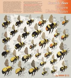 Bumblebees of the Eastern United States Poster.