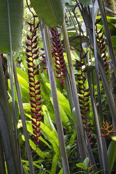 Heliconia longissima - Brazil by frolickauai, via Flickr Unique Plants, Exotic Plants, Tropical Plants, Tropical Flowers, Tropical Gardens, Strange Flowers, Unusual Flowers, Rare Flowers, Amazing Flowers
