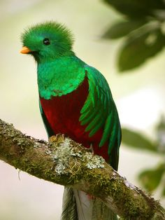 Resplendent Quetzal breeds in mountain cloud forest. They found during breeding season in highlands of southern Mexico and Central America from Guatemala to western Panama; makes annual migrations to woodlands at lower altitude. Its population status is near threatened.