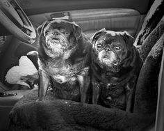 Wrinkly Curmudgeons Who Want You To Respect Your Elders 19 Wrinkly Wrinkly Curmudgeons Cute Pug Pictures, Pug Photos, Cute Animals Kissing, Baby Pug Dog, Wrinkly Dog, Cute Pugs, Funny Pugs, Old Pug, Respect Your Elders