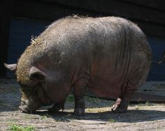 JoAnn Altsman had a heart attack and collapsed to the ground. Lulu, her daughter's pot-bellied pig, rushed out of the house, lying down in the street to stop traffic. The pig tried relentlessly to get help, returning to the house to check on JoAnn, to rush back to the street for help. Finally, one person stopped and followed the determined pig back to the house.She was immediately rushed to a hospital.                                                              JoAnn Altsman had a heart…